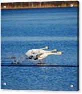 Whooper Swans Trio Acrylic Print