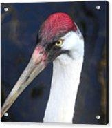 Whooping Crane Mug Shot Acrylic Print