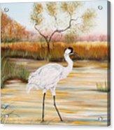Whooping Cranes-jp3156 Acrylic Print