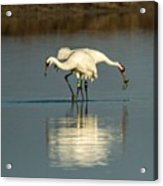 Whooping Cranes Acrylic Print