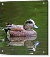 Widgeon Duck Acrylic Print