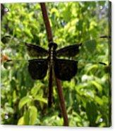 Widow Skimmer Dragonfly Female Acrylic Print