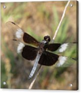 Widow Skimmer Dragonfly Male Acrylic Print