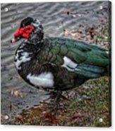 Wierd Muscovy Duck Acrylic Print