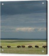 Wild American Bison Roam On A Ranch Acrylic Print