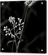 Wild And Beautiful B/w Acrylic Print