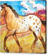 Wild Appaloosa Horse Acrylic Print