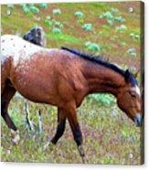 Wild Appaloosa Stallion Acrylic Print