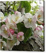 Wild Apple Blossoms Acrylic Print