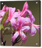 Wild Azaleas Acrylic Print