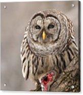 Wild Barred Owl With Prey Acrylic Print