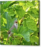 Wild Bird In A Currant Bush. Acrylic Print