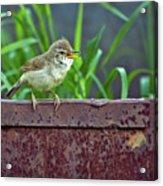 Wild Bird In A Natural Habitat.  Acrylic Print