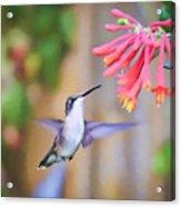 Wild Birds - Hummingbird Art Acrylic Print