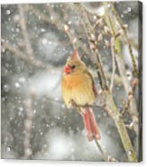 Wild Birds Of Winter - Female Cardinal In The Snow Acrylic Print