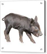 Wild Black Piglet Acrylic Print