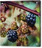 Wild Blackberries Acrylic Print