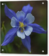 Wild Blue Acrylic Print by Barbara Schultheis