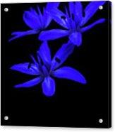 Wild Blue Bell Acrylic Print