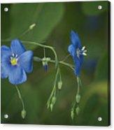 Wild Blue Acrylic Print