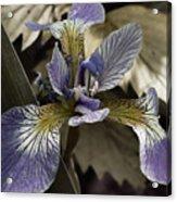 Wild Blue Iris Acrylic Print