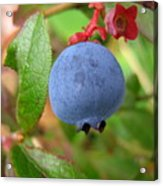 Wild Blueberries Acrylic Print