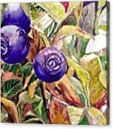 Wild Blueberries Acrylic Print