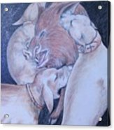 Wild Boar And Dogs Acrylic Print