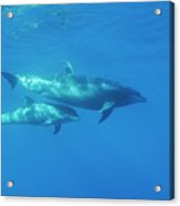 Wild Bottle-nosed Dolphin Mother And Calf Acrylic Print