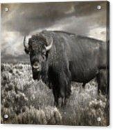 Wild Buffalo In Yellowstone Acrylic Print