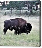 Wild Buffalo Acrylic Print