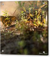 Wild Butterfly Acrylic Print