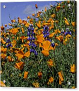 Wild California Poppies And Lupine Acrylic Print