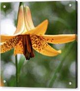 Wild Canadian Lily Acrylic Print