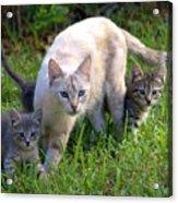 Wild Cats In Hialeah Acrylic Print