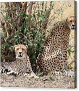 Wild Cheetahs Acrylic Print