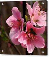 Wild Cherry Blossom Acrylic Print