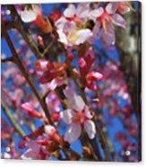 Wild Cherry Tree In Bloom Acrylic Print