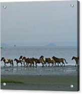 Wild Chincoteague Ponies Run Acrylic Print