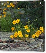 Wild Coreopsis On Hughes Mountain 1 Acrylic Print