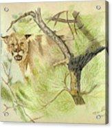 Wild Cougar Acrylic Print