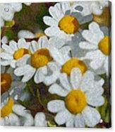 Wild Daisies II Acrylic Print