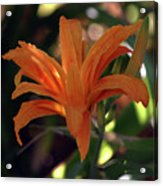Wild Daylilies 1167 H_2 Acrylic Print
