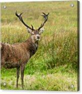 Wild Deer Animals   Acrylic Print