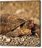 Wild Desert Tortoise Saguaro National Park Acrylic Print by Steve Gadomski