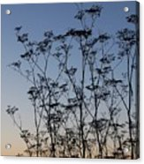 Wild Dill Silhouette Acrylic Print