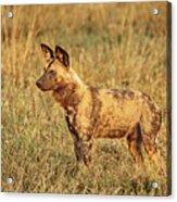 Wild Dog Of Botswana Acrylic Print