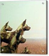 Wild Dog Acrylic Print