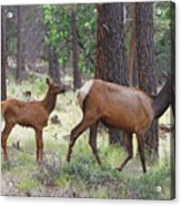 Wild Elk Baby And Mom Acrylic Print