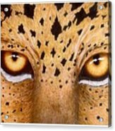 Wild Eyes Acrylic Print
